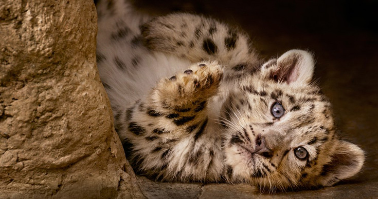 Born In China -Snow Leopard Cub