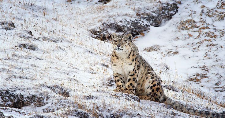Born In China Snow Leopard Dawa