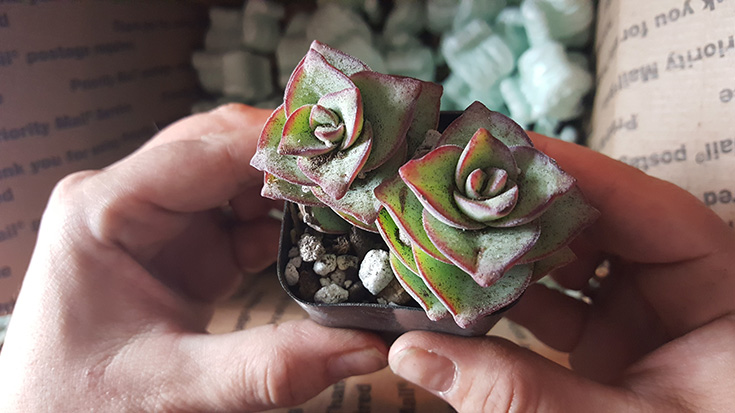 Crassula Perforata - String Of Buttons Succulent Plant