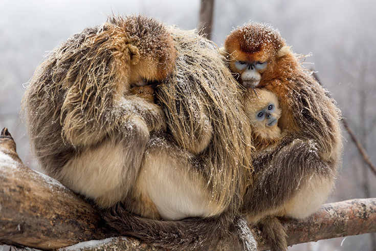 Born In China - Golden Monkey Family