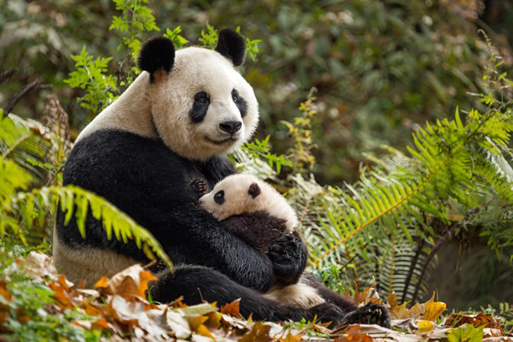 Born In China Panda Family