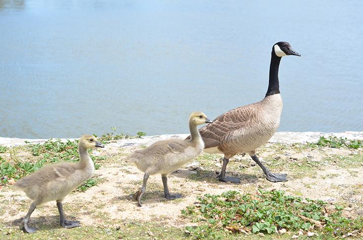 Canadian Goose Family - El Estero Park