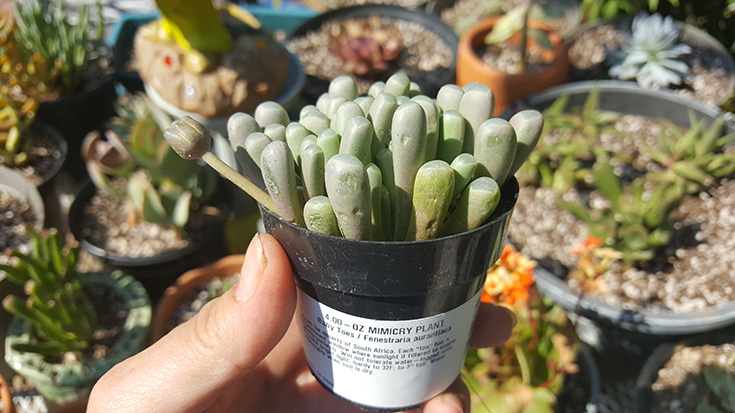 Baby Toes - Mimicry Plant - Altman Plants