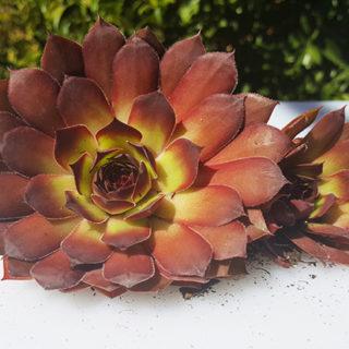 Dragon's Eye Sempervivum Plant