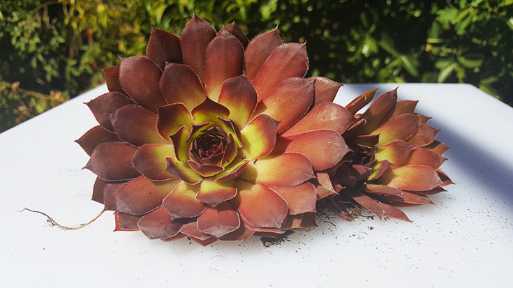 Dragon's Eye Sempervivum Plant