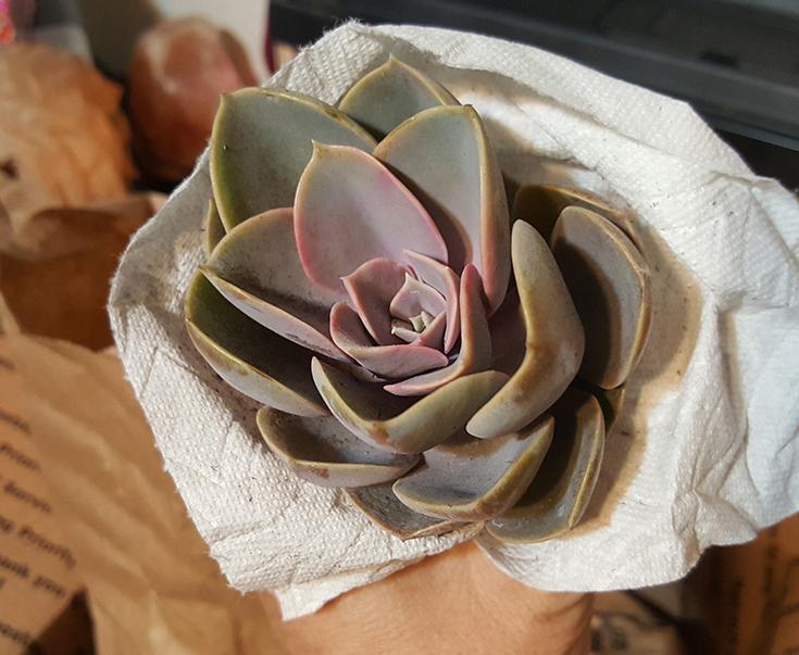 Echeveria Pearle Von Nurnberg