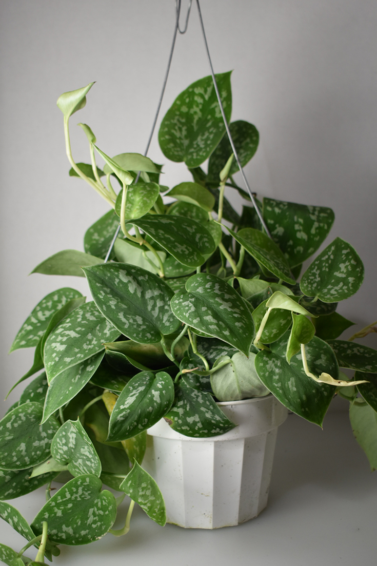 Pothos - House Plant Shop