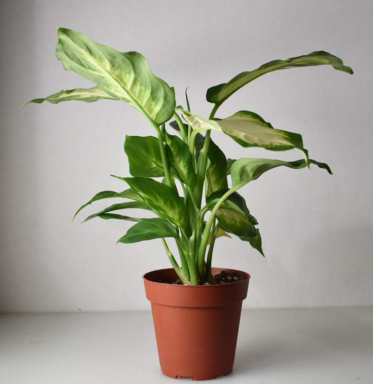 Syngonium (Arrowhead) Plant